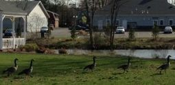 Geese cause public nuisance and management problems | Parasites | Scoop.it