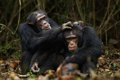 Bromance helps stressed out warring chimps keep their cool | geluk | Scoop.it