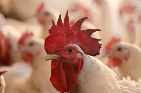 Now That Obama Is Allowing Chicken From China, What Will That Do To The Chicken Industry? | Restore America | Scoop.it