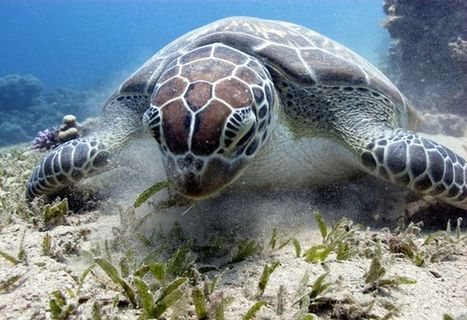 #GreenTurtles need help  #Conservation #Environment | Rescue our Ocean's & it's species from Man's Pollution! | Scoop.it