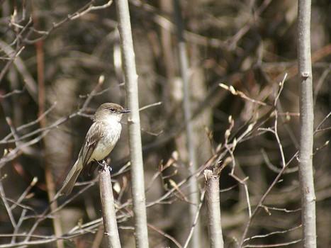Photo d'oiseau : Moucherolle phébi - Sayornis phoebe - Eastern phoebe - Moucherolles - Tyran - Passereau   Fauna Free Pics - Public Domain - Photos gratuites d'animaux   Scoop.it
