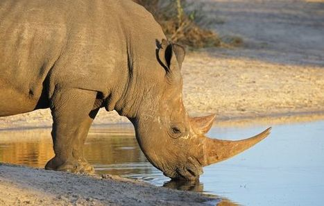 SA government faces legal challenge to open domestic rhino horn trade | What's Happening to Africa's Rhino? | Scoop.it