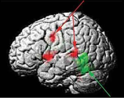 Bases neurologiques | Sémiotique et cognition | Scoop.it