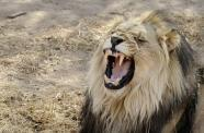 Asia's new delicacy: Africa's lion bones | Wildlife Trafficking: Who Does it? Allows it? | Scoop.it