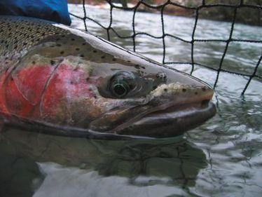 State shuts down Snider Creek hatchery program - TheNewsTribune.com | Fish Habitat | Scoop.it