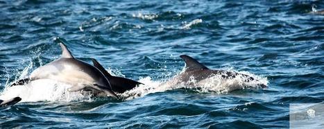 The 2013 Sardine Run, South Africa | Scuba Diving | Scoop.it