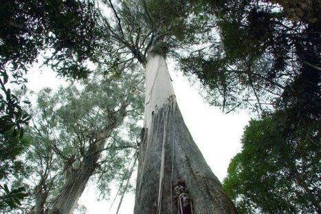 Laser beam uncovers giants of the forest | Australian Plants on the Web | Scoop.it