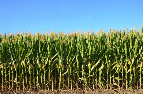 Five pest species now immune to GMO corn and cotton - Grist | Plant Based Transitions | Scoop.it