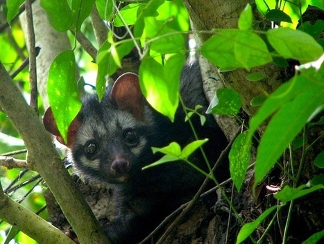 The Most Expensive Coffee in the World Comes From Civet Poo, but That's Not the Bad News | Animal Cruelty | Scoop.it