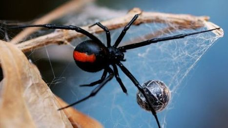 In Australia, a poisonous spider bite the man in toilet   The Univers News - Latest Online News   Scoop.it