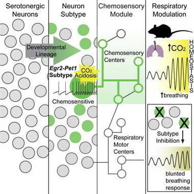 Identification of a Serotonin Neuron Subtype That Regulates Breathing Dynamics | Rett syndrome and breathing difficulties | Scoop.it