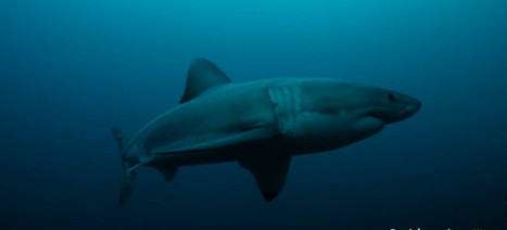 Scientists: A mysterious animal ate an entire 9-foot great white shark - Gizmodo | Carlos luna's CE - Zoology | Scoop.it