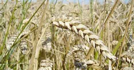 BBSRC mention: Scientists create first map of the wheat epigenome | BIOSCIENCE NEWS | Scoop.it
