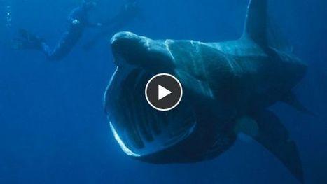 Huit espèces de requins que vous ne connaissez peut-être pas - Maxisciences | Requins en Péril | Scoop.it