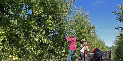 Emploi saisonnier : cherche cueilleurs de pommes désespérément en Dordogne   Agriculture en Dordogne   Scoop.it