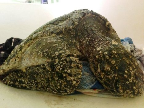 Sick turtle finds temporary home in bathtub | All about water, the oceans, environmental issues | Scoop.it