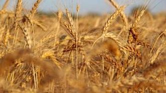 World wheat crop could hit record levels   Wheat   Scoop.it