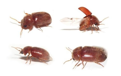 Scarabiasis : des coléos coliques... - Passion Entomologie | EntomoScience | Scoop.it