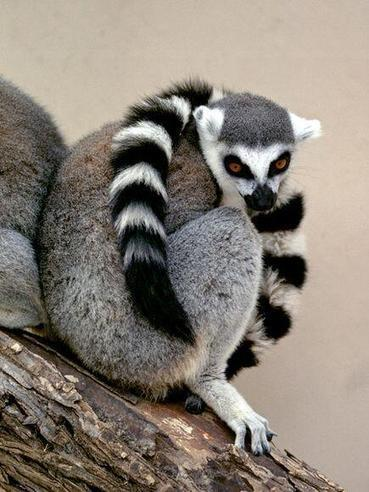 Twitter / natgeotv_india: #DidYouKnow Native to the ... | Ring Tailed Lemurs | Scoop.it