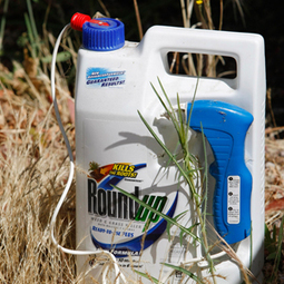 Weed killer ingredient used on GMO crops found in a whole lot of urine - msnNOW | GMO GM Articles Research Links | Scoop.it