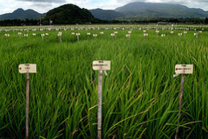 New salt-tolerant rice strain could help in fight for food security | A Better Food System | Scoop.it