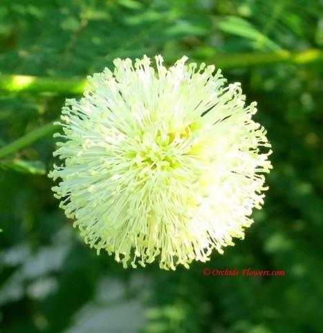 Giant Sensitive Tree (Mimosa pigra) | Orchids & Flowers | Scoop.it