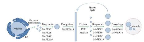 Roles of Peroxisomes in the Rice Blast Fungus | Rice Blast | Scoop.it