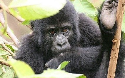 Gorillas, rhinos, lions and more will soon become extinct without immediate action | The EcoPlum Daily | Scoop.it