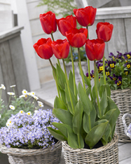 Gardening! Gardening! Gardening! » Create a Spectacular Tulip Show in Containers | Container Gardening | Scoop.it
