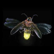 L'efficacité des LEDs augmentée de 55% grâce aux lucioles !   Efficycle   Scoop.it