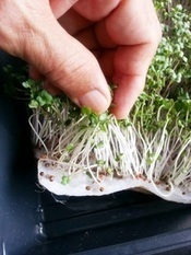 Broccoli Redux ... | Organic Farming | Scoop.it