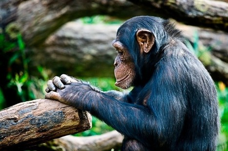 Chimpanzees Should Not Be Used in TV or Movies | Psychology and Brain News | Scoop.it