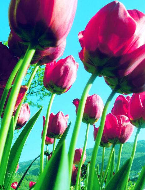 Tulips from Robert Krstevski | My Photo | Scoop.it