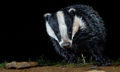 Culls risk illegally exterminating badgers, animal expert warns | Wildlife Trust of South and West Wales | Scoop.it