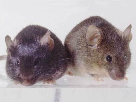 Experimental Drug TM5441 Prolongs Life Span in a Strain of Rapidly Aging Mice 4-fold | Supplements | Scoop.it