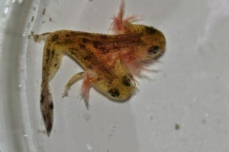 Two-headed Salamander Tadpole Discovered In Israel (Video) | Strange Animals | Strange animals | Scoop.it