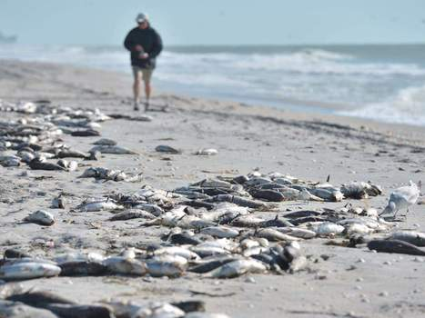 Red tide kills thousands of fish | Food issues | Scoop.it