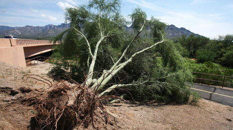 Palo verde beetles mainly a danger to unhealthy trees | CALS in the News | Scoop.it