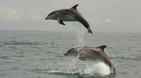 De nombreux dauphins observés sur les côtes bretonnes et normandes | Ma Bretagne | Scoop.it