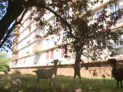 A Bagnolet, des moutons et des chèvres sont les stars de la cité! | L'Agriculture Citadine | Scoop.it