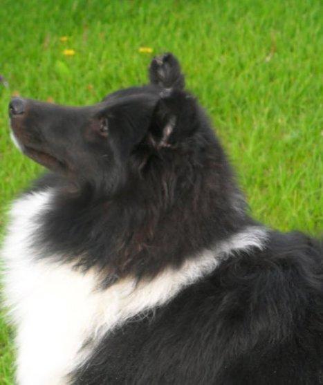 Berger shetland sheepdog Gatineau Canada   chiens shetland   Scoop.it