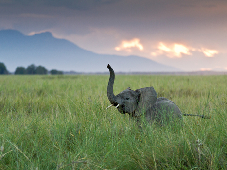 Elephants Have 2,000 Genes for Smell—Most Ever Found | CLOVER ENTERPRISES ''THE ENTERTAINMENT OF CHOICE'' | Scoop.it