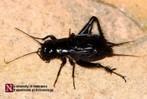 BioKIDS - Kids' Inquiry of Diverse Species, Critter Catalog, Gryllidae, crickets | Ecosystems Unit | Scoop.it
