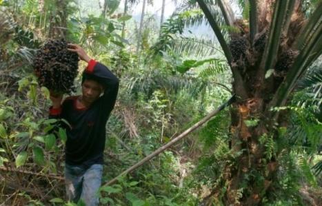 L'Indonésie s'attaque à l'huile de palme après les gigantesques feux de forêts | Biodiversité | Scoop.it