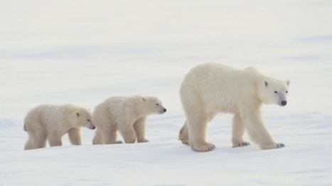 Polar Bears Can't Just Switch to Terrestrial Food | Sustain Our Earth | Scoop.it