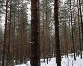 Pine forest particles appear out of thin air, influence climate | Sustain Our Earth | Scoop.it