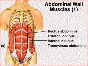 Abdominal Muscle Facts | Best Weight Loss Program | Scoop.it