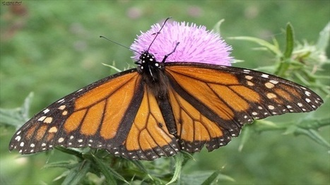 Iconic monarch butterflies one the decline because of rising herbicide use | Dell | Scoop.it