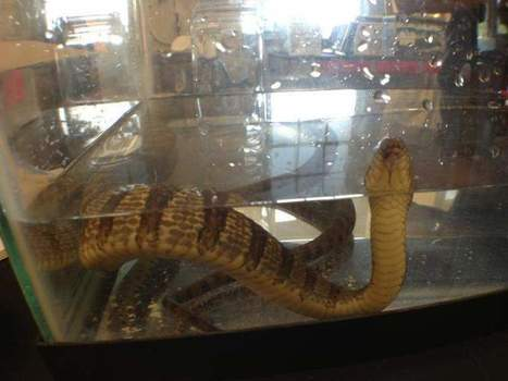 Water snake has comeback in Lake Erie - Mansfield News Journal | don't drain my lake bro | Scoop.it