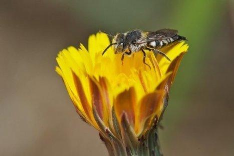 La desaparición de las abejas salvajes amenaza la polinización de cultivos | HISTORIA Y GEOGRAFÍA VIVAS | Scoop.it